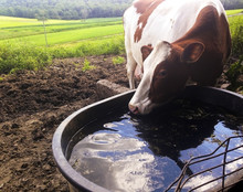 Cow Drinking Water From Trough