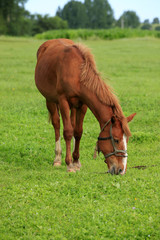 The horse in the grasslands
