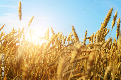 pole-pszenicy-pod-blekitne-niebo