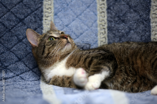 Spoed Foto op Canvas Canada Striped with white European shorthair cat lying on a sofa on a blue background