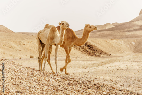 Poster Chameau Group of dromedary camels walking in wild desert heat nature.