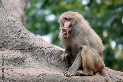 A young Hamadryas Baboon with open mouth showing his teeth