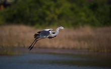 Landing Grey Heron