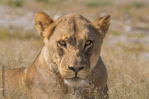 Fotografie, Obraz  Lioness at the Nebrownii waterhole, Okaukeujo, Etosha National Park, Namibia