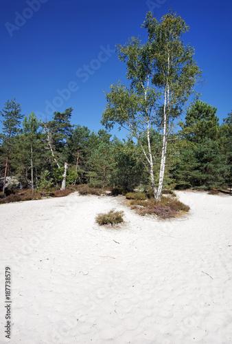 Papiers peints Kaki sable blanc et bouleaux en forêt de Fontainebleau