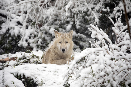 Платно  Hudson Bay Wolf