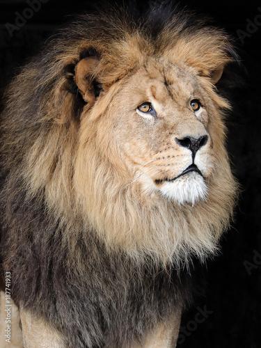 Foto op Plexiglas Leeuw Male Lion Close-Up