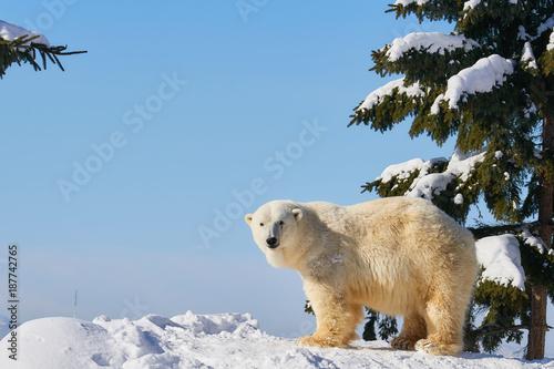 Staande foto Ijsbeer 雪の上のシロクマ