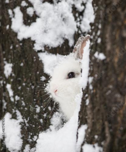 bunny,white rabbit on snow, hare in winter Wallpaper Mural