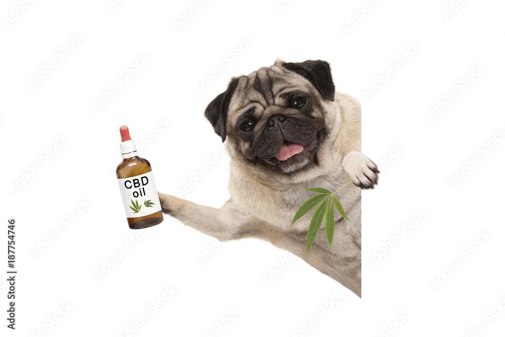 Fototapety, obrazy: cute smiling pug puppy dog holding up bottle of CBD oil and marijuana hemp leaf, isolated on white background