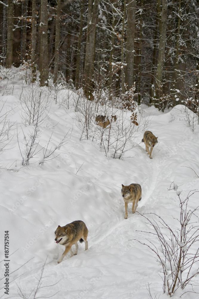 Wolfsrudel auf der Jagd