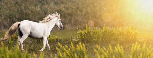 Beautiful white wild horse running in the field - web banner with copy space