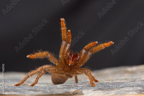 A tarantula of the genus Heterophroctus raised in aggression showing its fangs Fotobehang