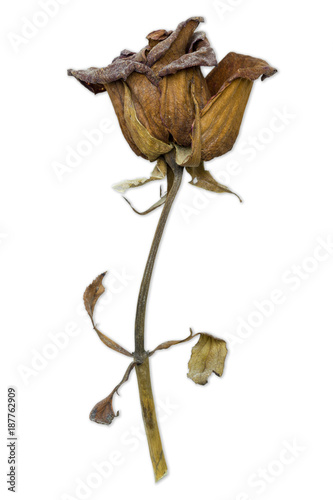 Valokuva  Closeup withered red rose on white background