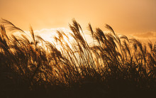 Autumn In Korea: Reeds Symbolize The Change Of Seasons (silhouette)