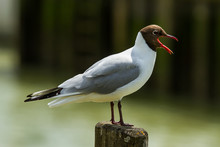 Photo Of A Black Headed Gull Call While Standing On A Wooden Post