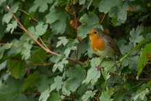 Photo Of A Little Robin Red-br...