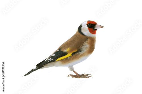Fotomural goldfinch