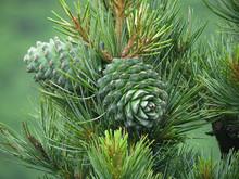 Cedar Nut, Pine Cone Green. Pi...