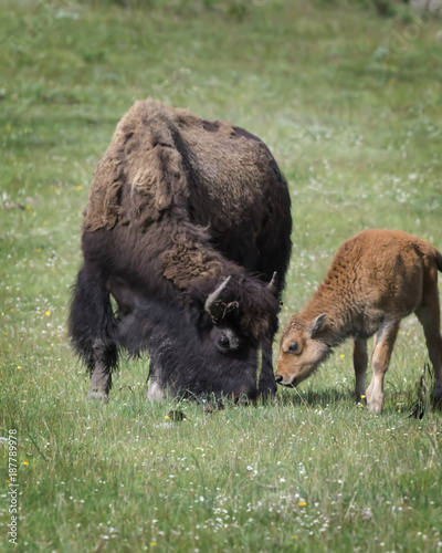 Aluminium Prints Bison Bison Grand Tetons 2014 and 2015