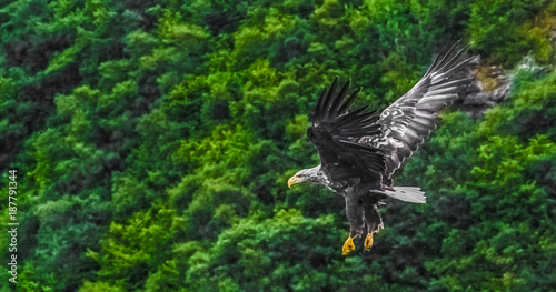 Poster Aigle White-tailed sea eagle (Haliaeetus albicilla) flying off the cliffs of an islet near Portree, Isle of Skye, Scottish highlands,