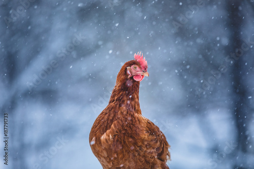 Fotobehang Kip Domestic Eggs Chicken on a Wood Branch during Winter Storm.