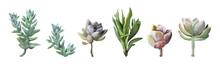 Succulent Flower Plant Watercolor Hand Drawn Beautiful Collection, Set. Vector Cute Nature Botanical Art Elegant  Greenery Illustration Of Design Elements. Lovely Big Various Echeveria Agave Selection