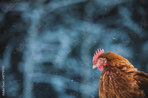 Fotobehang Kip Domestic Rustic Eggs Chicken Portrait during Winter Storm.