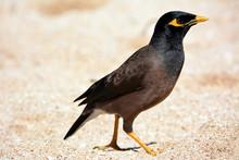 Mainate Bird In Hawaii