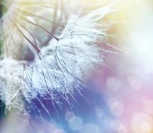 Dandelion Seeds Close-up (selective Focus On Dandelion Seeds)