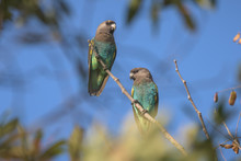 Two Mayer´s Parrots Perched O...