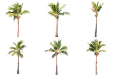Six Coconut Tree Isolated On W...