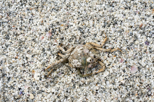 A dead crab lays in the sand after a storm on the Gulf of Mexico at St. Pete Beach, Florida