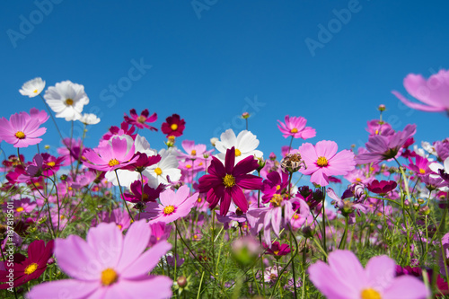 Univers Cosmos flowers in a variety of colors in the field. There is a mountain back. Sky and clouds