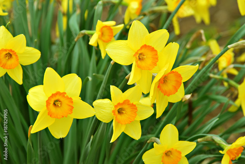 Deurstickers Narcis Beautiful daffodils blooming in the spring.