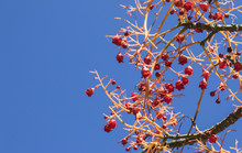 Red Berries Of An Australian F...