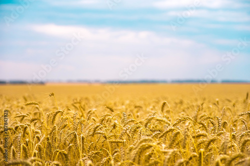 Wheat field in summer. The ripening of the harvest. Golden field and cloudy sky.