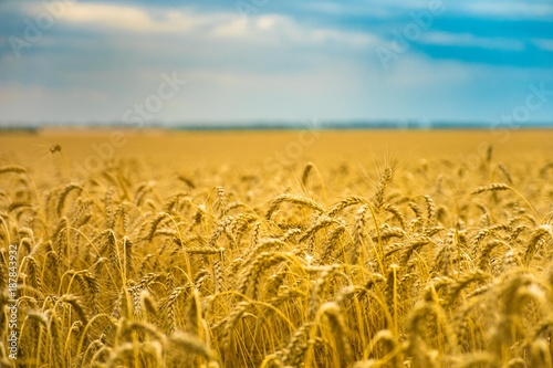 Fotobehang Cultuur Wheat field in summer. The ripening of the harvest. Golden field and cloudy sky.