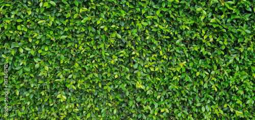 Fototapeta Green leaves natural background wallpaper . leaf texture. green leaves wall background