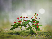 Wild Strawberry. Moss