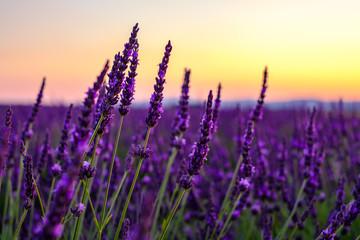 Fototapeta Kwiaty Fleurs de lavande gros plan, coucher de soleil.