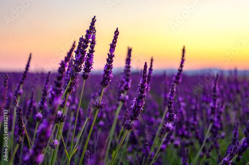 Montage in der Fensternische Lavendel Fleurs de lavande gros plan, coucher de soleil.