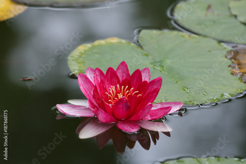 Wall Murals Water lilies Beautiful lily flower with leaves in a pond