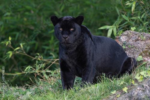 Poster Panter Jaguar (Panthera onca)/Black Jaguar deep in a forest
