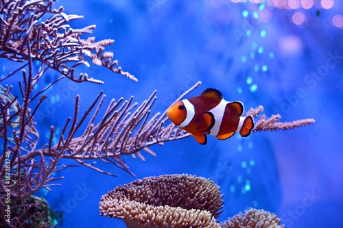 Fotografie, Obraz  Clownfish, Amphiprioninae, in aquarium tank with reef as background