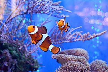 Błazenki, Amphiprioninae, w akwarium z rafą jako tło.