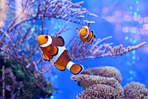Clownfish, Amphiprioninae, in aquarium tank with reef as background Fototapet
