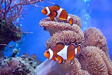 Clownfish, Amphiprioninae, w akwarium z rafą jako tło.