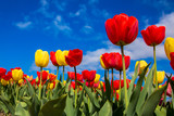 Fototapeta Tulipany - Spring blooming tulip field. Spring floral background.