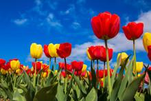 Spring Blooming Tulip Field. S...